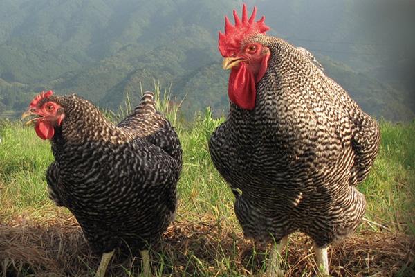 純和血統「熱海北条鶏」